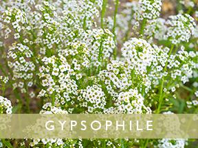 gypsophil