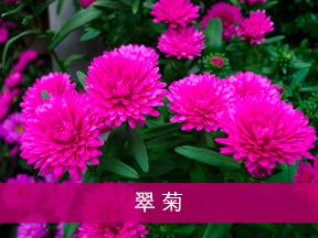 aster 翠菊