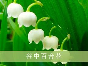 谷中百合花