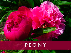 Peony